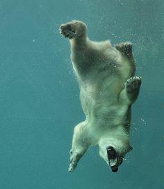 Un oso polar disfrutando de una zambullida en el agua fría del crudo invierno. El oso Polar rivaliza con su pariente el oso Kodiak por el título de carnívoro terrestre más grande de la Tierra. Su hábitat es el medio polar y las zonas heladas del Hemisferio Norte y es el único superdepredador del Ártico. Nadan con facilidad pero capturan a sus presas en tierra firme o sobre el hielo.