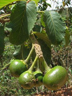 Caryocar brasiliensis (Pequi) 20101107_123517 by Andre Benedito, via Flickr