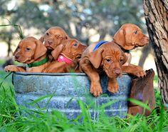 Bucket of Vizsla Pups @ Culver's Legacy