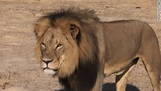 Tribute to Cecil the Lion: What We Can Learn from His Death