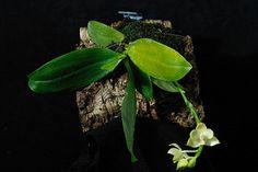 Phal floresensis LUR_5811