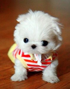 I need a Teacup Maltese STAT