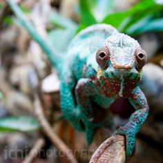 Nature Photography . The chameleon . Size 8x8 by idniphotography, $18.00