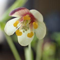 アズマシロカネソウの花  (omagaの庭で)