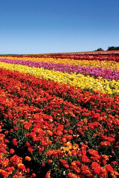 The Flower Fields, Carlsbad, CA - Roses are only the beginning of the flower season. Happy Valentine's Day, we open on March 1st!