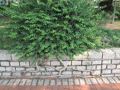 +2012.10.2+  樹木的生命力真叫人類汗顏。看來也是個藝術家。