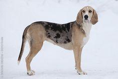 Dunker Hound Dog