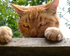 Oh the captions I could come up with for this cutie cat with attitude! I Love Cats, Crazy Cats, Cool Cats, Jellicle Cats, Orange Tabby Cats, Outdoor Cats, Ginger Cats, Here Kitty Kitty, Beautiful Cats