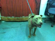 LINDA. (A1606644) I am a female red and white Pit Bull Terrier about 1 Year old. Linda is at at the Miami Dade County Animal Services facility and that's a DANGEROUS place for any dog, let alone a pitbull. They are the first to go. PLEASE SHARE FOR HER. This expression on her face is still sweet even tho she's in that hole. She would just love to get out of there ASAP! https://www.facebook.com/urgentdogsofmiami/photos/a.217635851604159.64709.191859757515102/750866651614407/?type=1&theater