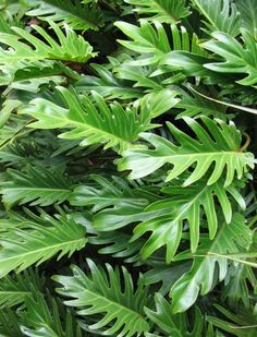 philodendron xanadu for low foreground evergreen plant