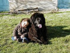 A wee lass and her Newfoundland