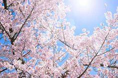ピンク色の桜と太陽の光