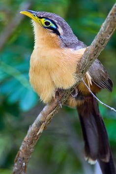 Lesser Ground-Cuckoo (Morococcyx erythropygus): Costa Rica/ El Salvador/ Guatamala/ Honduras/ Mexico/ Nicaragua