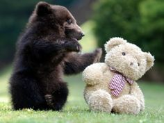 bear and teddy.that teddy bear looks a little concerned LOL So Cute Baby, Cute Babies, Cute Funny Animals, Cute Baby Animals, Wild Animals, Animal Babies, Bear Cubs, Bear Toy, Panda Bear