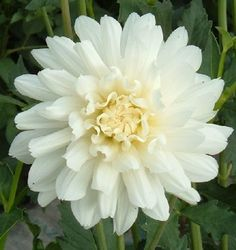 Carl Chilson - This is a creamy white flower that works well in wedding arrangements