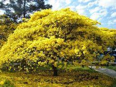 Teia Design: Ipê – Árvore Brasileira