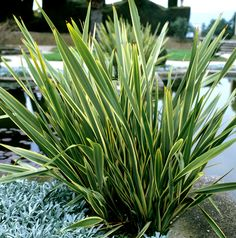 An excellent dwarf variety with slender, erect, green leaves broadly banded creamy white on both edges. Stiff spiky grower ideal for small feature gardens, containers etc. Supplied in approx 3 litre containers. Ornamental Grass Landscape, Front Garden Landscape, Drought Tolerant Landscape, Ornamental Grasses, Garden Landscaping, Landscape Design, Landscape Grasses, Desert Landscape, Front Gardens