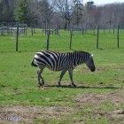What are you looking at? Never seen a Zonkey before? - At Oaklawn Farm Zoo in Aylesford