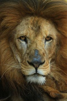 ~~lion portrait by Guillermo Ossa~~