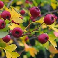 Greek Flowers, Plant Catalogs, Forest Mountain, Tree Forest, Flowering Trees, Flora, Herbs, Landscape, Fruit