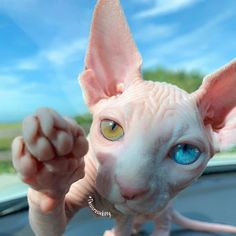 Cute Hairless Cat, Sphynx Cat, Two Different Colored Eyes, Pet Parade, Baby Otters, Types Of Cats, Cute Baby Animals, Wild Animals, Cool Cats