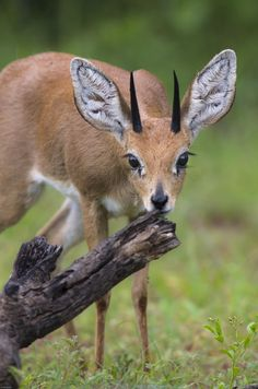 Antelope by Jan Borgstede on 500px
