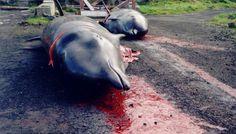 Chaque année, le même rituel se répète : l'abattage de centaines de dauphins dans la petite localité japonaise de Taiji.    :'( sniff :'( sniff BOURREAU :'( ASSASSIN :'( SAUVAGE :'( CONNARD :'( POURRI :'( DEBILE :'( sniff :'( sniff  AMORE