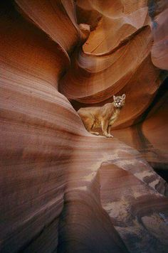 'A mountain lion pauses on a ledge inside this swirled rock chasm.' by National Geographic on artflakes.com