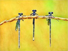 Three little dragonflies