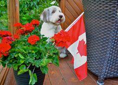 Canada Day Chester  #CanadaDay #Canada #Beardies #BeardedCollie #Dogs #Collies