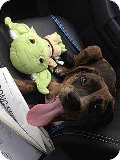 Hagerstown, MD - Great Dane/Labrador Retriever Mix. Meet Rocky, a puppy for adoption. http://www.adoptapet.com/pet/14541680-hagerstown-maryland-great-dane-mix