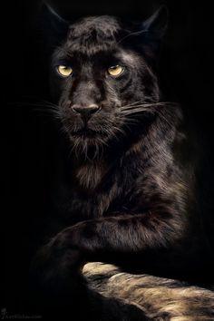 Pantera negra.