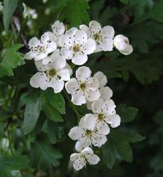 missouri state flower - Crataegus punctata  Crataegus punctata is a species of hawthorn known by the common names dotted hawthorn or white haw
