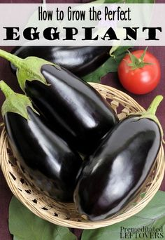 How to Grow Eggplant - Tips on how to plant eggplant seeds and seedlings, how to care for eggplant seedlings, and how to harvest eggplant. Good site too! Backyard Garden Landscape, Veg Garden, Fruit Garden, Edible Garden, Vegetable Gardening, Garden Tips, Container Gardening, Garden Landscaping, Eggplant Plant