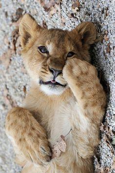*Lion Cub (by Josef Gelernter)