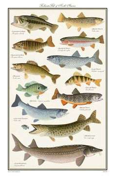 freshwater fish north america - Freshwater Gamefish of North America Poster ? Scott & NixNorth American Freshwater Fish Print by Michael VigliottiCommon Fr Bass Fishing Tips, Sport Fishing, Gone Fishing, Best Fishing, Kayak Fishing, Catfish Fishing, Fishing Basics, Fishing Knots, Salmon Fishing