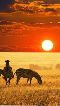 I would love to go to Africa and go on a guided safari to see all the animals in their natural habitat! South Africa Travel Honeymoon Backpack Backpacking Vacation Africa Off the Beaten Path Budget Wanderlust Bucket List Beautiful Sunset, Beautiful Places, Beautiful Pictures, Amazing Sunsets, Inspiring Pictures, Wonderful Places, African Animals, African Safari, Zebras