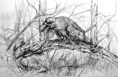 Raven on dead Birch. Pencil 30 x 45 cm