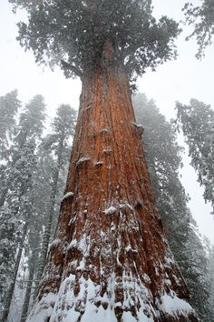 A Sequoia tree, biggest in the world.
