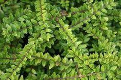 Afbeeldingsresultaat voor plant lonicera haag
