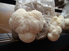 Growing lions mane mushrooms at home