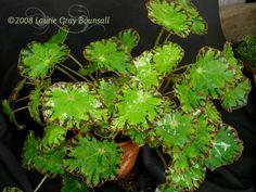 Rhizomatous Begonia, Eyelash Begonia 'Springfield Queen'  Begonia from Davesgarden.com