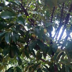 망고스틴 (Mangosteen, Măng cụt) 과일의 제왕이 두리안이라면 과일의 여왕은 망고스틴이라네요. 보랏빛 망고스틴은 이렇게 열려요 #Queen_of_Fruit #Food #Vietnam #여기는베트남