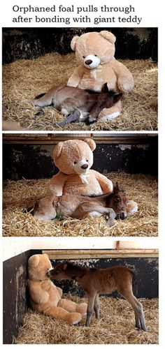 Orphaned foal's best friend is a teddy bear called Button... beyond cute <3