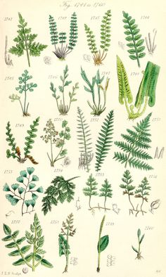 "Pteridomania: the Victorian fern craze probably from 1837 to early A magnificent solarium in a Victorian home with ferns and palms. I caught the fern ""illness"" years ago. Vintage Botanical Prints, Botanical Drawings, Botanical Art, Vintage Prints, Vintage Posters, Illustration Botanique, Plant Illustration, Botanical Illustration, Nature Posters"