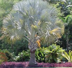 GROUND COVER: Florida Friendly plants. purple queen. Drought tolerant. Great article