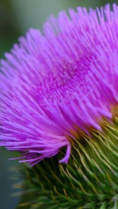 Beautiful Flower Quotes, Beautiful Flowers, Thistle Flower, More Images, Pretty Wallpapers, Colorful Wallpaper, Flower Photos, Free Pictures, Pink Flowers
