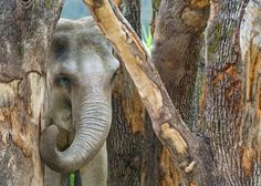 Elephant and wood (by Tambako the Jaguar)