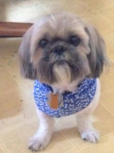 """Pam tells us about her EcoEars experience, """"Worked great on our Shih Tzuh, Snik!!! """""""