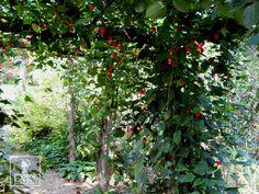 「アブチロンチロリアンランプ」 ブラジル原産 熱帯や亜熱帯原産の半つる性花木だが、一般の熱帯花木に比べるとかなり耐寒性が強く、関東以西では戸外で冬越しできる。